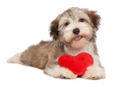 Cute dog holding a heart pillow